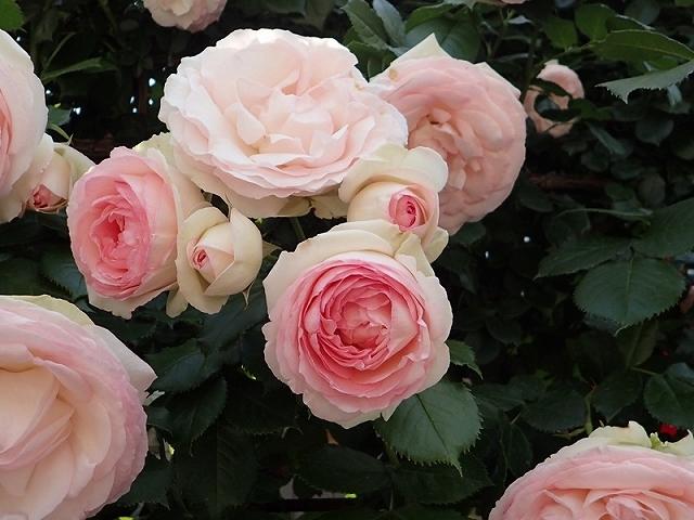 2017年 春の「姫路ばら園」_e0289203_13315825.jpg