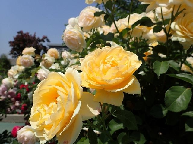 2017年 春の「姫路ばら園」_e0289203_13330845.jpg