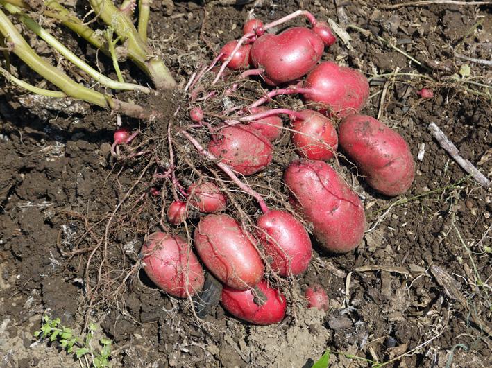 ジャガイモのほとんどとタマネギ全量を収穫5・28~29_c0014967_8512189.jpg