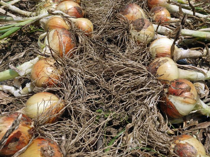 ジャガイモのほとんどとタマネギ全量を収穫5・28~29_c0014967_8513119.jpg