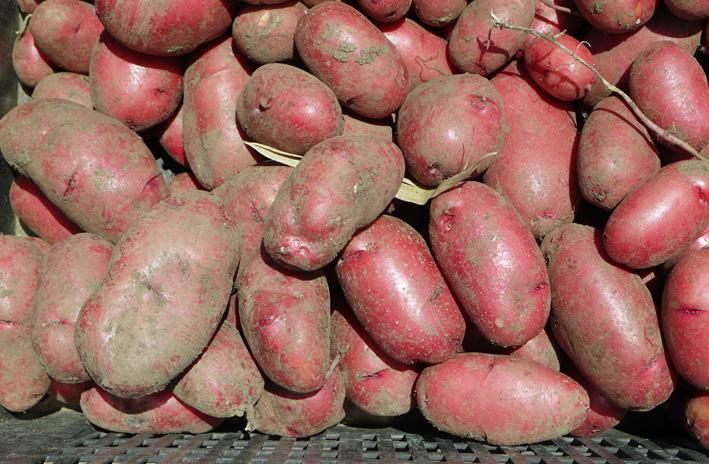 ジャガイモのほとんどとタマネギ全量を収穫5・28~29_c0014967_8521516.jpg