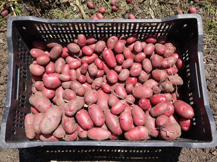 ジャガイモのほとんどとタマネギ全量を収穫5・28~29_c0014967_8522444.jpg