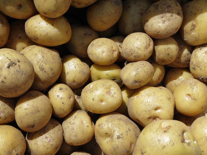 ジャガイモのほとんどとタマネギ全量を収穫5・28~29_c0014967_8524312.jpg