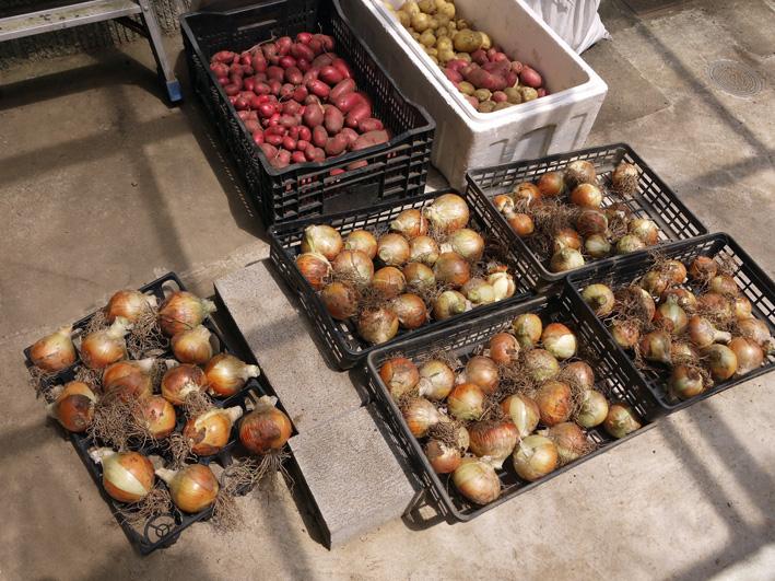 ジャガイモのほとんどとタマネギ全量を収穫5・28~29_c0014967_852446.jpg