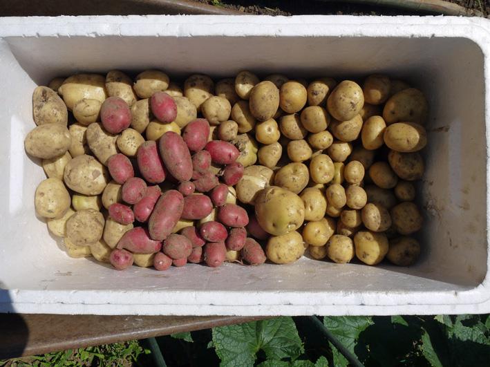 ジャガイモのほとんどとタマネギ全量を収穫5・28~29_c0014967_8525418.jpg