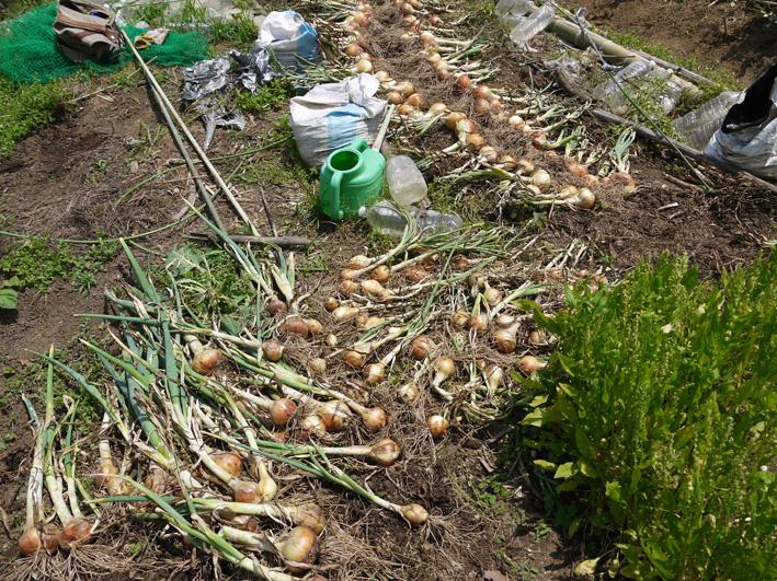 ジャガイモのほとんどとタマネギ全量を収穫5・28~29_c0014967_8531361.jpg