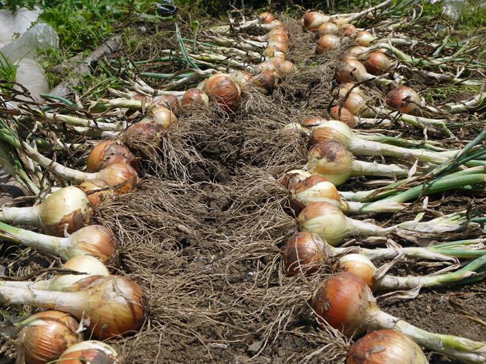 ジャガイモのほとんどとタマネギ全量を収穫5・28~29_c0014967_853424.jpg