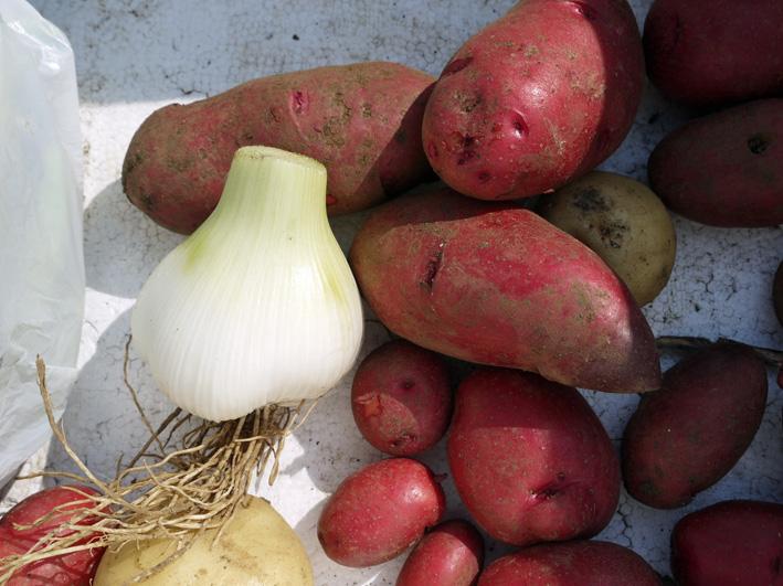 ジャガイモのほとんどとタマネギ全量を収穫5・28~29_c0014967_853565.jpg