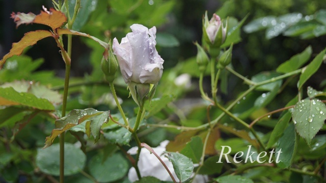 バラにお勧めガーデンアーチ~_f0029571_555434.jpg