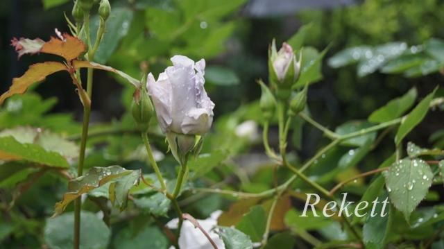 バラにお勧めガーデンアーチ~_f0029571_56127.jpg