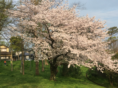 なかなか咲かなかった今年の桜_f0220089_17111262.jpg