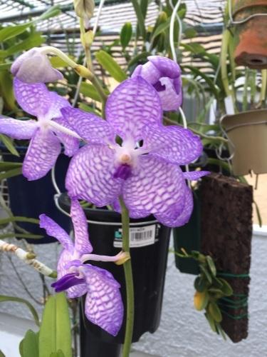 Vanda.coeruleaの季節始まる!_d0007501_06324065.jpg