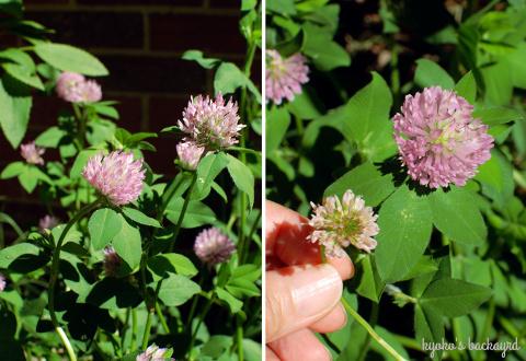 裏庭の花壇と菜園の様子(5月下旬)。ワイルドローズ・バスソルト。_b0253205_01581205.jpg