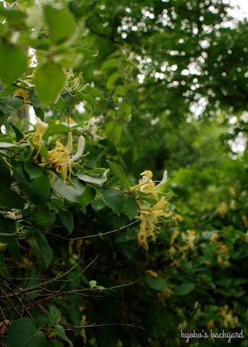裏庭の花壇と菜園の様子(5月下旬)。ワイルドローズ・バスソルト。_b0253205_01591600.jpg