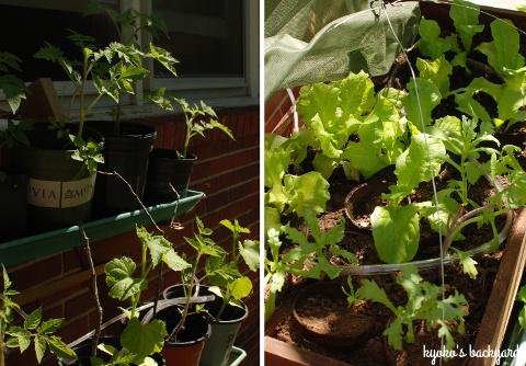 裏庭の花壇と菜園の様子(5月下旬)。ワイルドローズ・バスソルト。_b0253205_02461790.jpg
