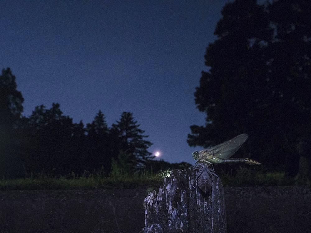 ウチワヤンマとコフキトンボ(帯型) 羽化_f0324026_02222055.jpg