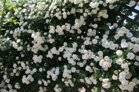花フェスタ記念公園 モネの池_b0132338_20254645.jpg