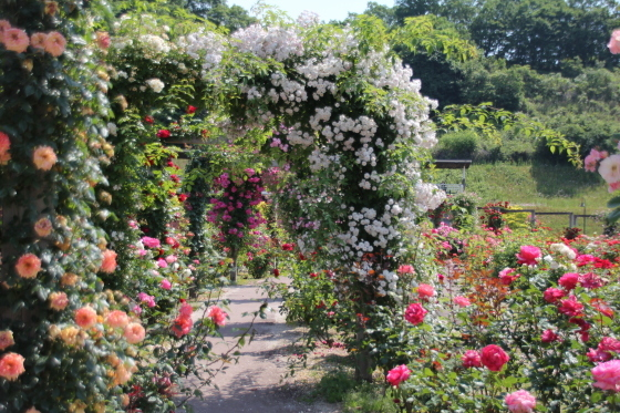 花フェスタ記念公園 モネの池_b0132338_20293512.jpg