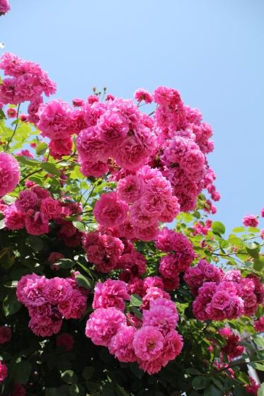 花フェスタ記念公園 モネの池_b0132338_20304877.jpg