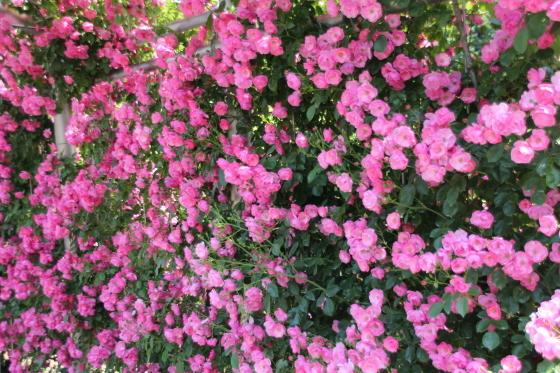 花フェスタ記念公園 モネの池_b0132338_20342696.jpg