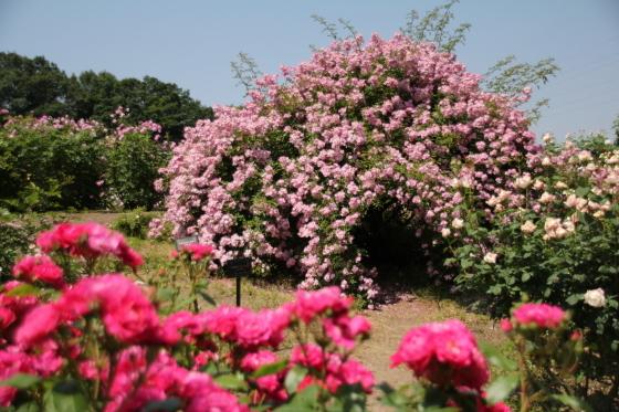 花フェスタ記念公園 モネの池_b0132338_20353672.jpg
