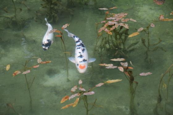 花フェスタ記念公園 モネの池_b0132338_20430326.jpg