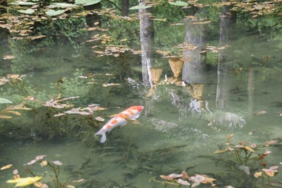 花フェスタ記念公園 モネの池_b0132338_20514719.jpg