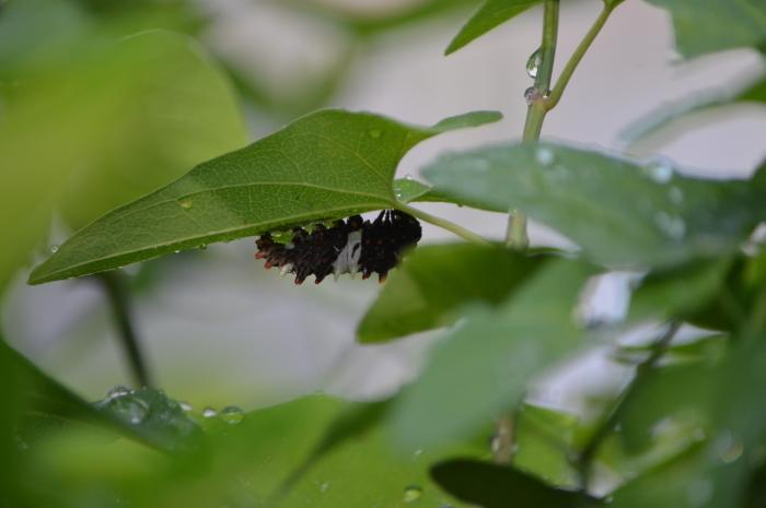 ジャコウアゲハ産卵 5月30日_d0254540_18231239.jpg