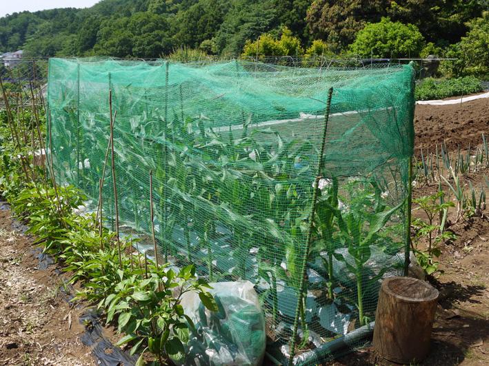 トウモロコシのハクビシン対策&ネギ植える準備(5・30)_c0014967_811998.jpg