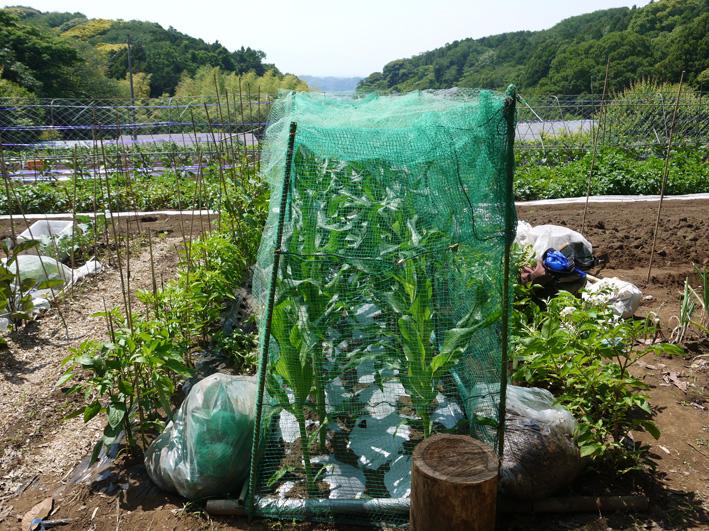 トウモロコシのハクビシン対策&ネギ植える準備(5・30)_c0014967_8121148.jpg