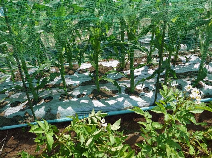 トウモロコシのハクビシン対策&ネギ植える準備(5・30)_c0014967_8122189.jpg