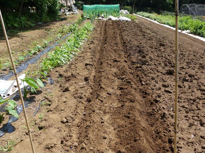 トウモロコシのハクビシン対策&ネギ植える準備(5・30)_c0014967_8124777.jpg