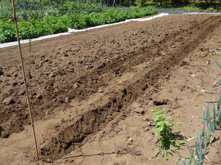 トウモロコシのハクビシン対策&ネギ植える準備(5・30)_c0014967_8125940.jpg