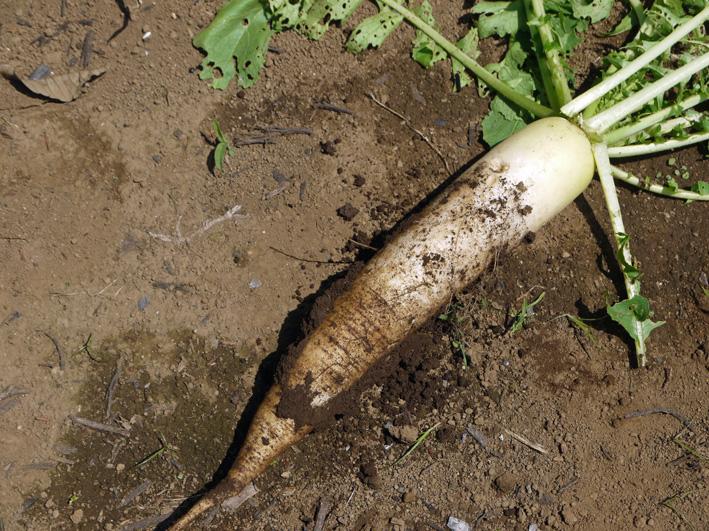 トウモロコシのハクビシン対策&ネギ植える準備(5・30)_c0014967_8132799.jpg