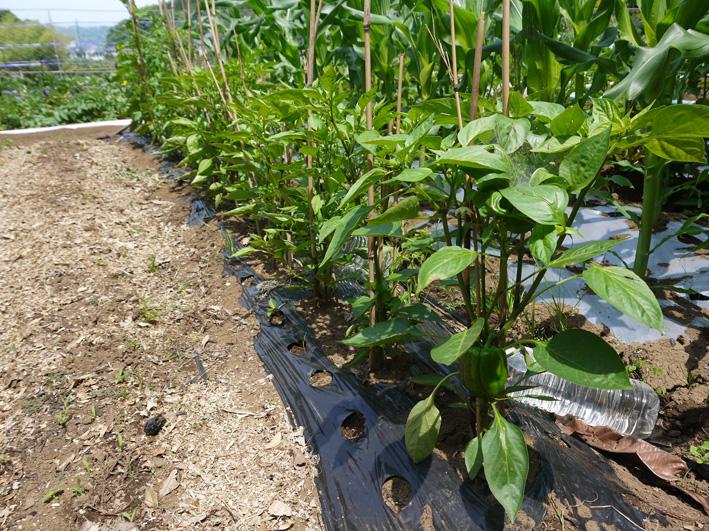 トウモロコシのハクビシン対策&ネギ植える準備(5・30)_c0014967_8133927.jpg