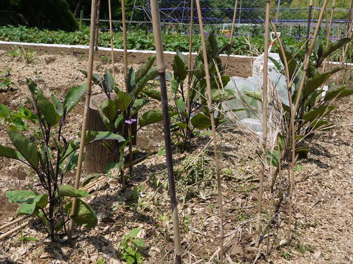 トウモロコシのハクビシン対策&ネギ植える準備(5・30)_c0014967_814090.jpg