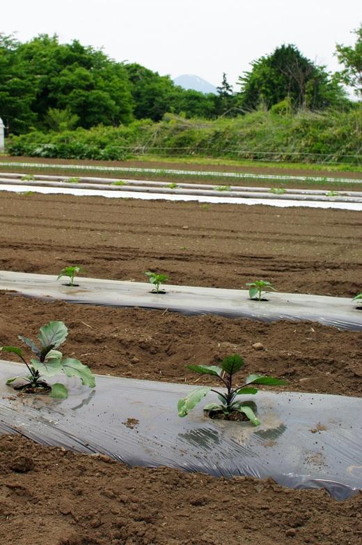 ナスとピーマン苗を植える_c0110869_1250249.jpg