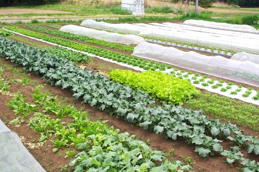 収穫が始まった葉物畑。_c0110869_12561687.jpg