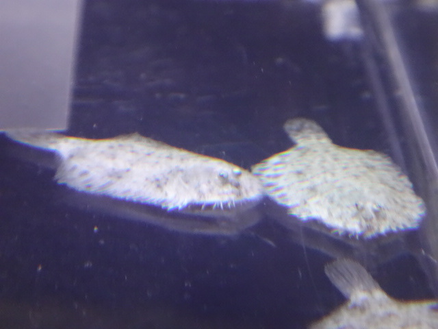 170601 熱帯魚・淡水魚・金魚・水草_f0189122_13100283.jpg