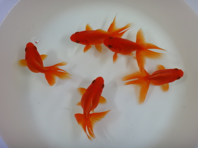 170601 熱帯魚・淡水魚・金魚・水草_f0189122_13131686.jpg