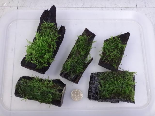 170601 熱帯魚・淡水魚・金魚・水草_f0189122_13195304.jpg