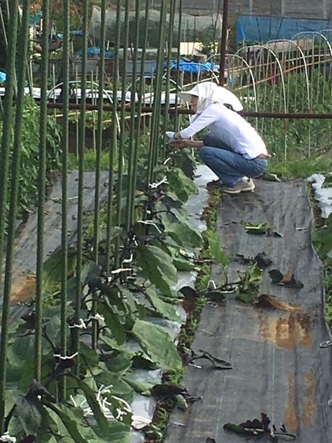 茄子 トマト の脇芽取り と 紐縛り直し_c0222448_20243975.jpg