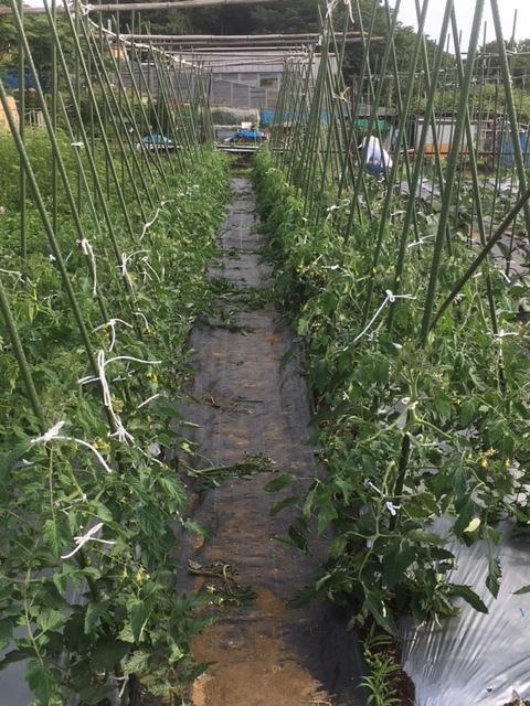茄子 トマト の脇芽取り と 紐縛り直し_c0222448_20250719.jpg