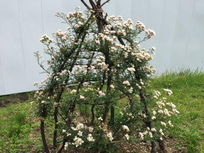 2017年6月1週「花がら摘み」と「のぞみ」_a0094959_203189.jpg