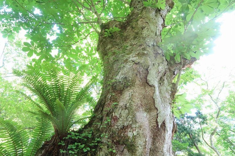 トチノキの花、満開でした 朽木山歩「トチの巨木林」_f0212679_12342991.jpg