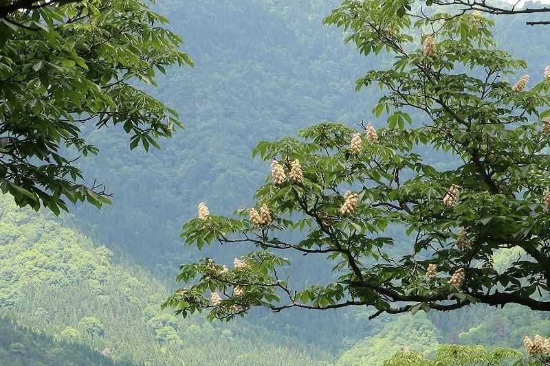 トチノキの花、満開でした 朽木山歩「トチの巨木林」_f0212679_12344422.jpg