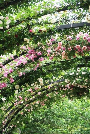 横浜イングリッシュガーデン 薔薇が満開_d0353281_00325070.jpg