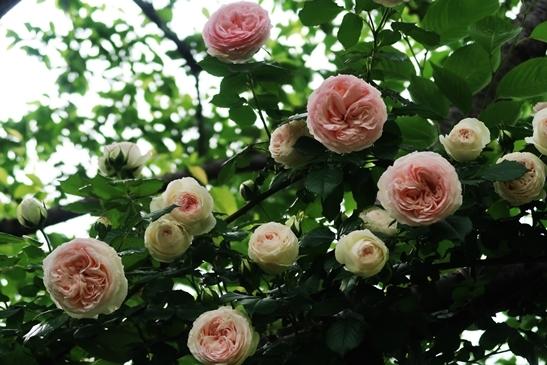 横浜イングリッシュガーデン 薔薇が満開_d0353281_00401299.jpg