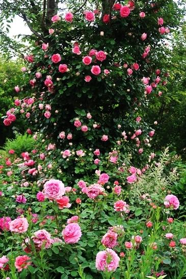 横浜イングリッシュガーデン 薔薇が満開_d0353281_00442755.jpg