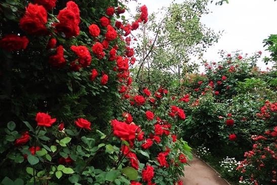 横浜イングリッシュガーデン 薔薇が満開_d0353281_00445463.jpg